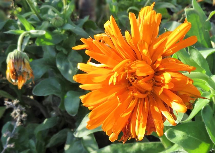 2018-12-04 LüchowSss Garten (4) Ringelblumen - Auch nach den Frösten immer noch trotzig blühende Ringelblumen.